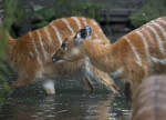 Herd of Marshbuck Crossing Water at the Artis Royal Zoo
