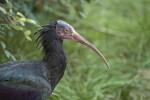 Hermit Ibis Close-Up