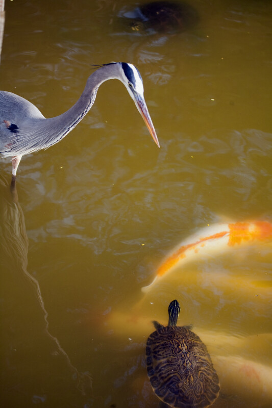 Heron and Turtle