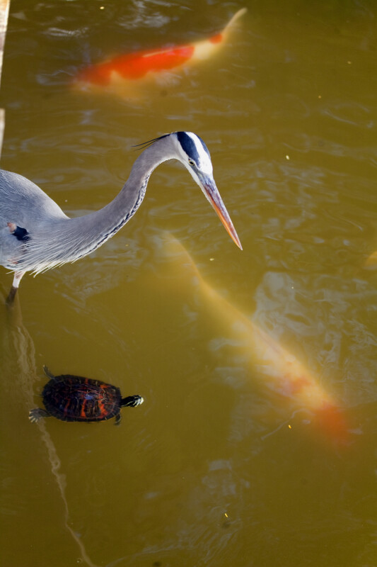 Heron, Turtle, and Koi