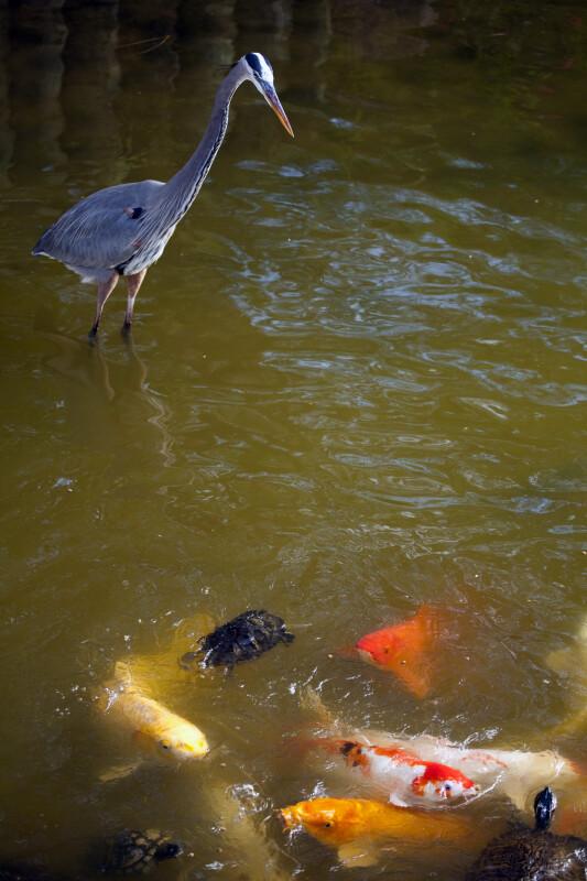 Heron Watching Koi and Turtles