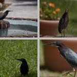 Herons photographs