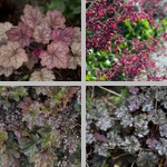 Heuchera photographs