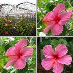 Hibiscuses photographs