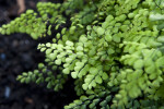Himalayan Maidenhair Detail