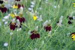Hoary Flower Blossoms