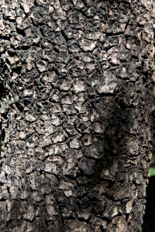 Hog Plum Bark