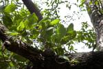 Hog Plum Leaves