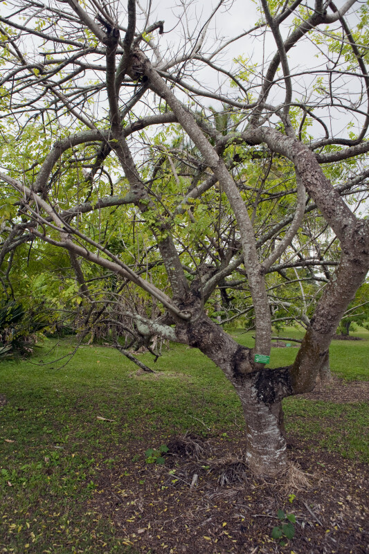 Hog Plum Tree ClipPix ETC Educational Photos for Students and