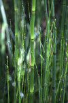 Hollow Horsetail Stem