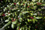 Holly Shrub with Green Leaves and Tiny, Red Berries