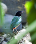 Hooded Pitta