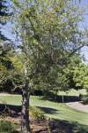 Hopa Crabapple Tree at the UC Davis Arboretum