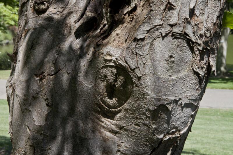 Hopa Crabapple Trunk at the UC Davis Arboretum