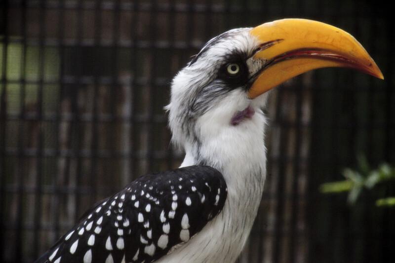 Hornbill from Side