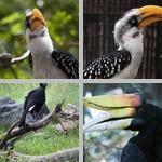 Hornbills photographs