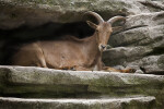 Horned Mammal Resting on Rock Ledge