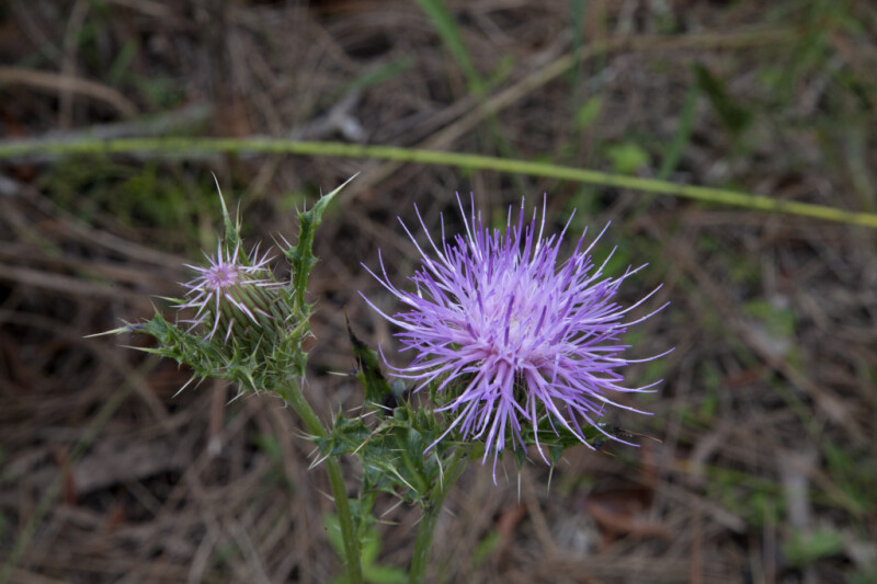 Horrible Thistle Flower and Thorny Stems
