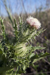 Horrible Thistle Spiny Leaves and Whitish-Pink Flower