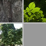 Horsechestnut Trees photographs