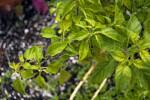 Hot Bird Pepper Leaves