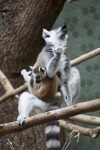 Howling Ring-Tailed Lemur