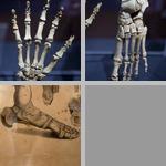 Human Appendicular Skeleton photographs
