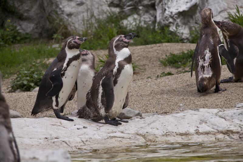 Humboldt Penguin Group