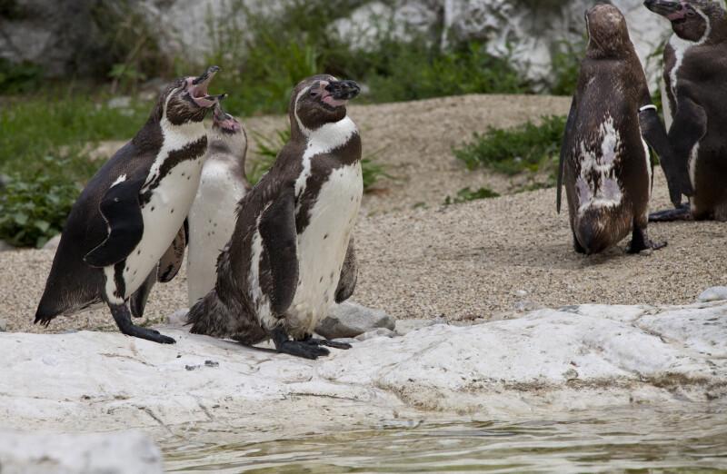 Humboldt Penguin Yawning