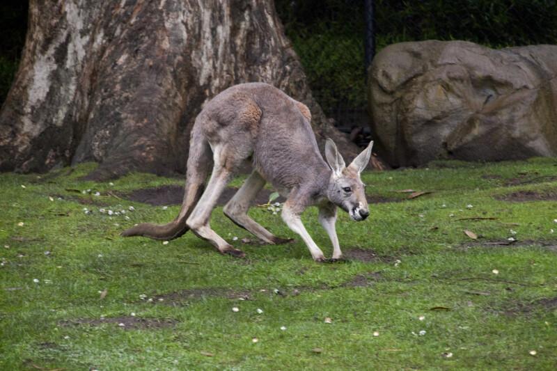 Hunched Kangaroo