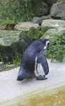 Hunched Penguin at the Artis Royal Zoo
