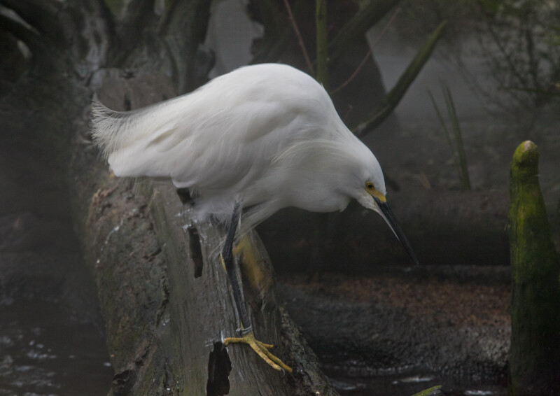 Hunched Snowy Egret at The Florida Aquarium