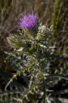 Flowering Horrible Thistle at the Big Cypress National Preserve