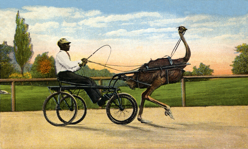 """""""Hurricane,"""" the Fastest Trotting Ostrich in the World"""