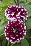Hybrid Dahlia Flowers