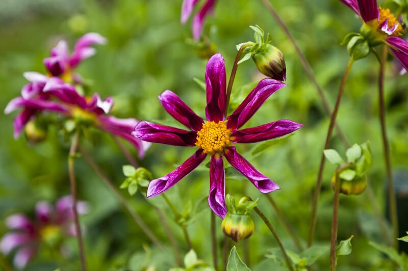 Hybrid Lilac Time Dahlia