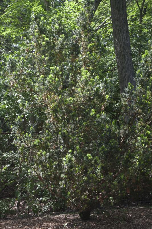 Hybrid Yew