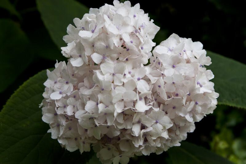 Hydrangea involucrata Flowers