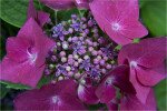 Hydrangea macrophylla Buds and Flowers