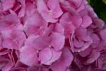 Bigleaf Hydrangea Flowers