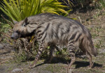 Hyena and Palmetto