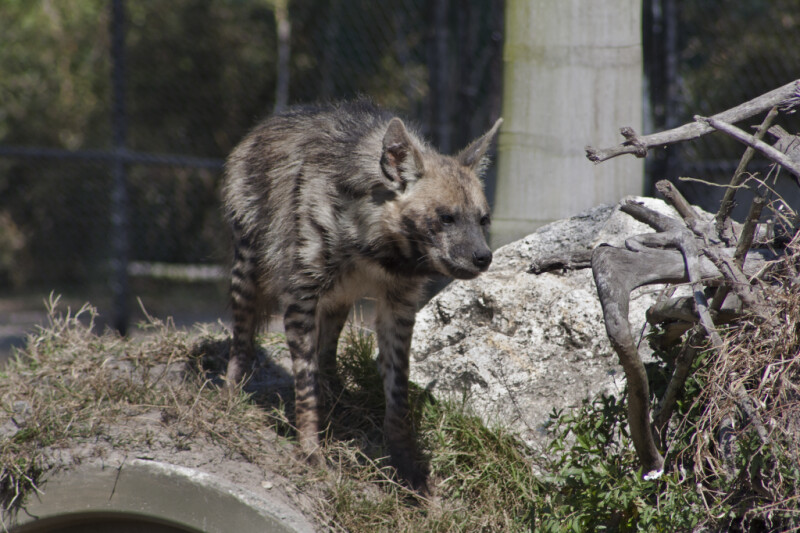 Hyena on Hill