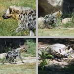 Hyenas photographs