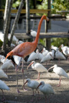Ibises and Flamingo