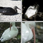 Ibises photographs