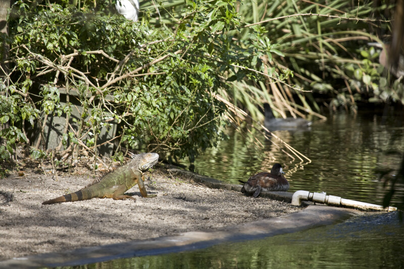Iguana and Duck