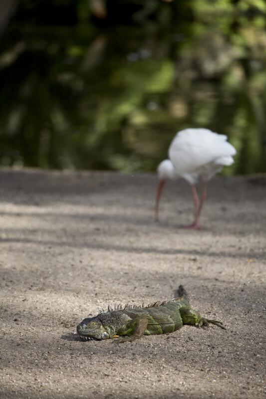 Iguana and Ibis