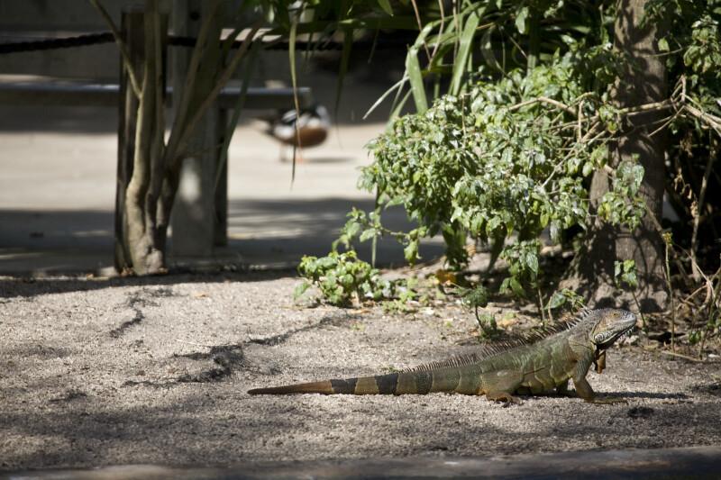 Iguana by Shore