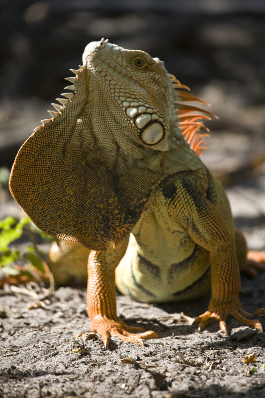 Iguana with Dewlap Extended