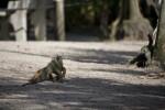 Iguana in Dirt